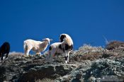 Travel photography:Sheep along the route to Zoniana, Grece