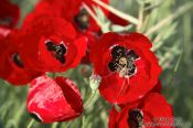 Travel photography:Poppies with spider near Parga, Greece