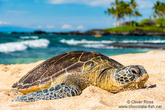 Sea turtle on Hawaii