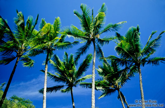 Coconut Palms against the sky