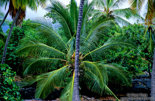 Coconut palm on Hawaii island