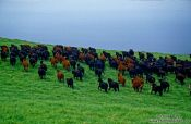 Travel photography:Cattle on Hawaii island, Hawaii USA