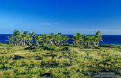 Travel photography:Windswept palm trees on Hawaii island, Hawaii USA