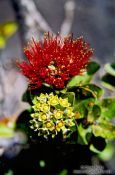 Travel photography:`Ohi`a lehua flower in Volcano Ntl Park, Hawaii USA