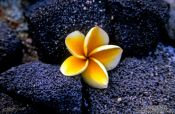 Travel photography:Yellow Plumeria flower, Hawaii USA