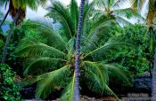 Travel photography:Coconut palm on Hawaii island, Hawaii USA
