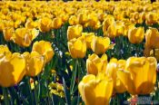Travel photography:Tulips near the Chain Bridge in Budapest, Hungary