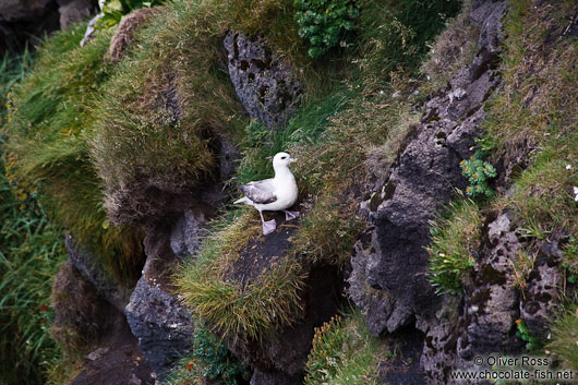 Fulmar (Fulmarus glacialis) at the Ingólfshöfði bird colony