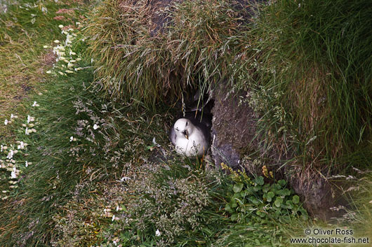 Nesting fulmar (Fulmarus glacialis) at the Ingólfshöfði bird colony