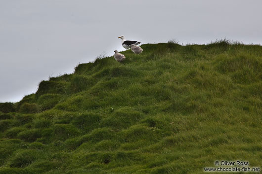 Great black-backed gull (Larus marinus) with two chicks at the Ingólfshöfði bird colony