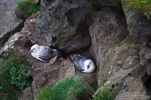 Breeding fulmars (Fulmarus glacialis) at the Ingólfshöfði bird colony