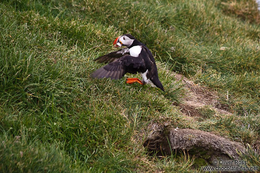 Landing atlantic puffin (Fratercula arctica) at the Ingólfshöfði bird colony
