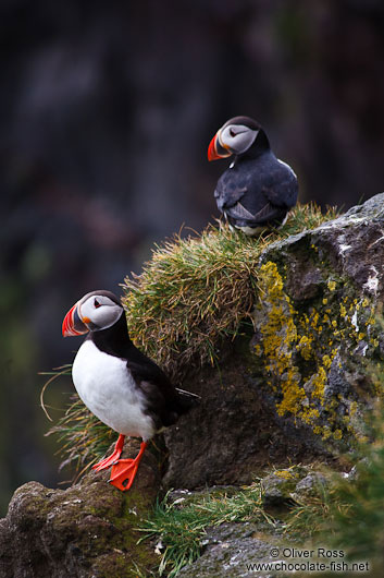 Atlantic puffin (Fratercula arctica) at the Ingólfshöfði bird colony