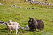 Travel photography:Sheep near Berufjörður, Iceland