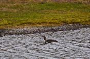 Travel photography:Red throated diver duck (Gavia stellata) near Breiðárlón, Iceland