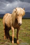 Travel photography:Iceland horse near Glymur, Iceland