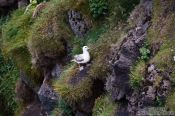Travel photography:Fulmar (Fulmarus glacialis) at the Ingólfshöfði bird colony, Iceland