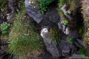 Travel photography:Nesting fulmar (Fulmarus glacialis) at the Ingólfshöfði bird colony, Iceland