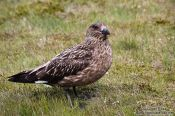 Travel photography:Great Skua (Stercorarius skua) at the Ingólfshöfði bird colony, Iceland