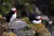 Travel photography:Atlantic puffin (Fratercula arctica) at the Ingólfshöfði bird colony, Iceland