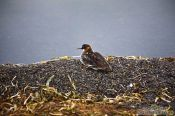 Travel photography:Bird at Mývatn lake, Iceland