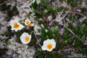 Travel photography:Dryas octopetala flowers near Mývatn lake, Iceland