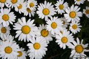 Travel photography:Roadside daisy (marguerite) flowers in Reykjavik, Iceland