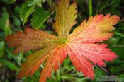 Travel photography:Coloured leaf near Skaftafell, Iceland