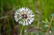 Travel photography:Icelandic dandelion near Skaftafell, Iceland