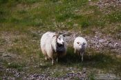Travel photography:Sheep on Snæfellsnes, Iceland