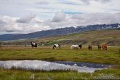 Travel photography:Horses in the Sauðárkrókur landscape, Iceland