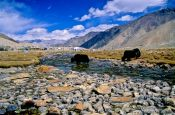 Travel photography:Yaks crossing a river near Diskit, India