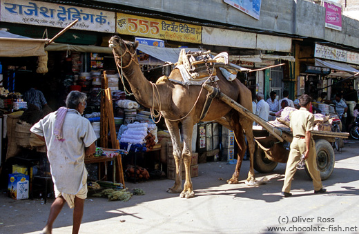 Camel cart in Bikaner street