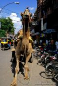 Travel photography:Camel cart in Bikaner, India