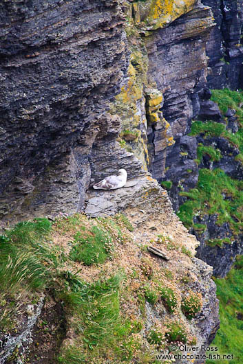 Nesting sea gull at the Cliffs of Moher