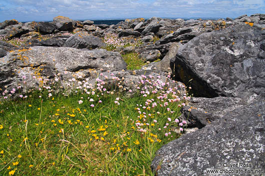 Small flowers grow in sheltered places along the Clare coastline