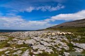Travel photography:Sheep along the Clare coastline , Ireland