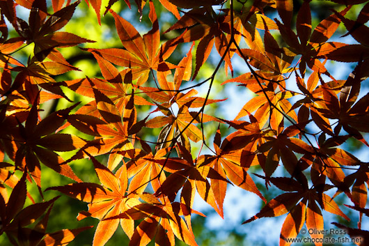 Colourful maple leaves against the sky at Kyoto´s Nanzenji Temple