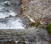 Travel photography:Heron preying on fish in Kyoto´s Kamo river, Japan