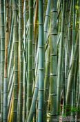 Travel photography:Bamboo forest at Kyoto´s Inari shrine, Japan
