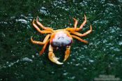 Travel photography:Crab at the Osaka Kaiyukan Aquarium, Japan