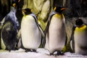 Travel photography:King penguins at the Osaka Aquarium, Japan