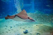 Travel photography:Spotted Eagle Ray at the Osaka Kaiyukan Aquarium, Japan