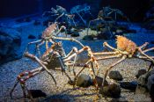 Travel photography:Giant spider crabs at the Osaka Kaiyukan Aquarium, Japan