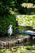 Travel photography:Heron at Kyoto´s Ryoanji temple, Japan