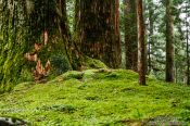 Travel photography:Trees with moss at the Nikko Unesco World Heritage site, Japan