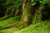 Travel photography:Trees at the Nikko Unesco World Heritage site, Japan