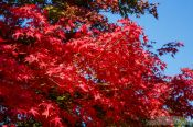Travel photography:Trees in autumn colour at Bulguksa Temple, South Korea