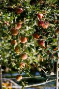Travel photography:Apple trees near Gyeongju, South Korea