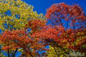 Travel photography:Trees in autmn colour in the Secret Garden of Changdeokgung palace in Seoul, South Korea